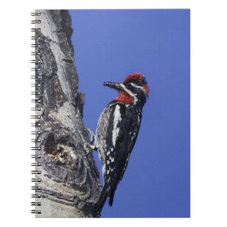 Red-naped Sapsucker, Sphyrapicus nuchalis, adult Notebook