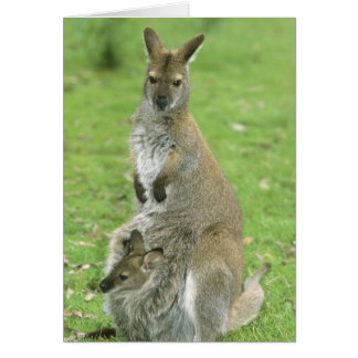 Red-necked Wallaby, Macropus rufogriseus), Card