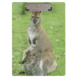 Red-necked Wallaby, Macropus rufogriseus), Clipboard