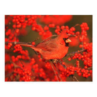 Red Northern Cardinal Male, IL Postcard