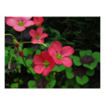 Red Oxalis ~ print