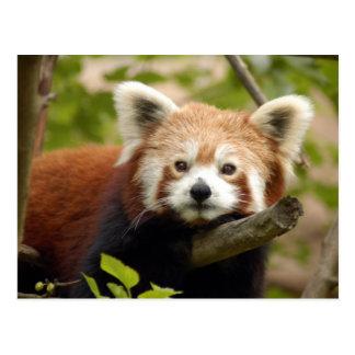 red-panda-007 postcard