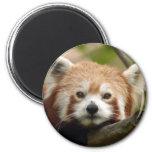 red-panda-010