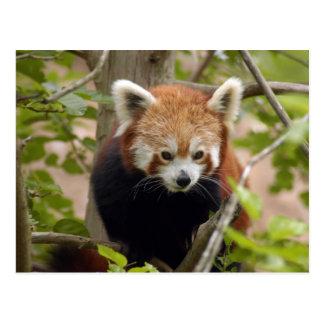 red-panda-023 postcard