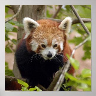red-panda-023 poster