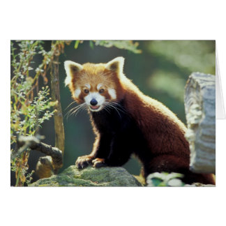 Red Panda Ailurus fulgens) Card