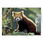 Red Panda Ailurus fulgens) Greeting Card