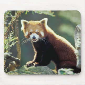 Red Panda Ailurus fulgens) Mouse Pad