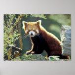 Red Panda Ailurus fulgens) Print