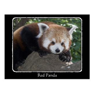 Red Panda close up with border Post Card