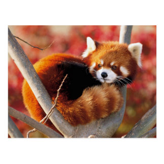 Red Panda in a Tree Postcard