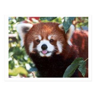 Red Panda Laughing Postcards