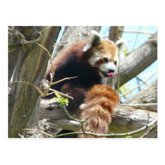red panda lickin postcard