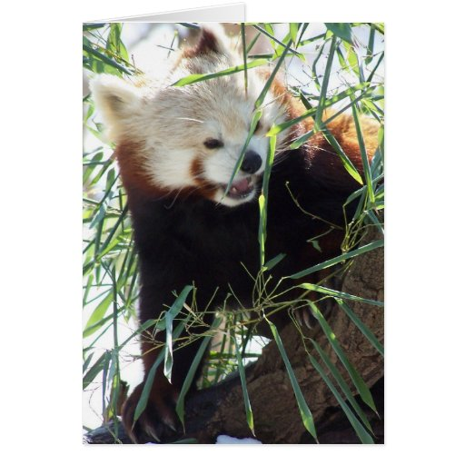Red Panda Open Mouth Card