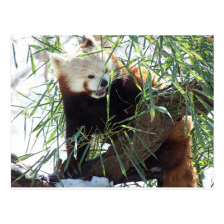 Red Panda Open Mouth Postcard