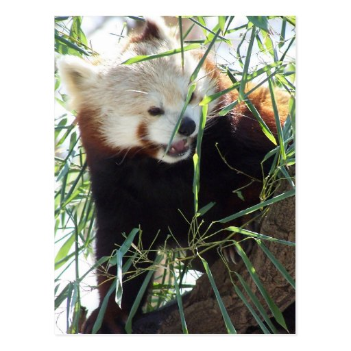 Red Panda Open Mouth Post Card