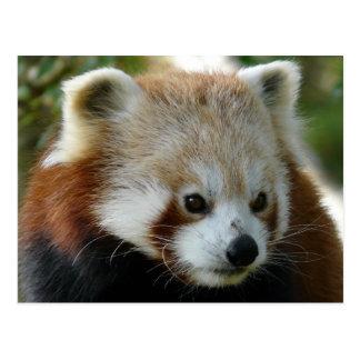 Red Panda Postcards