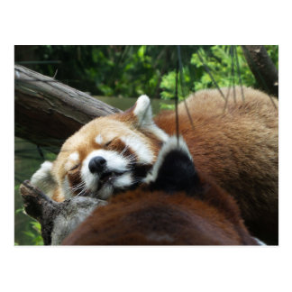 Red Panda Sleeping Postcard