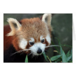 Red Panda, Taronga Zoo, Sydney, Australia Greeting Cards