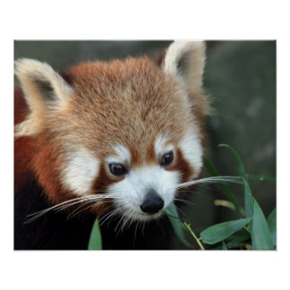 Red Panda, Taronga Zoo, Sydney, Australia Poster