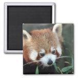 Red Panda, Taronga Zoo, Sydney, Australia Square Magnet