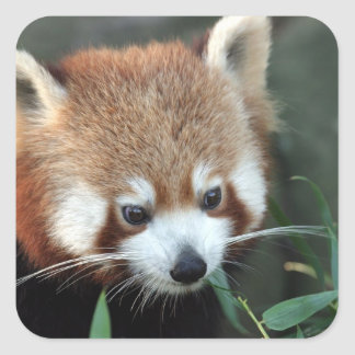 Red Panda, Taronga Zoo, Sydney, Australia Square Sticker
