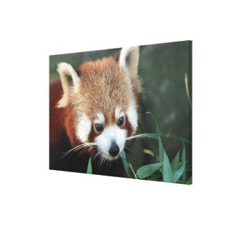 Red Panda, Taronga Zoo, Sydney, Australia Stretched Canvas Print