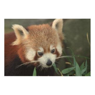 Red Panda, Taronga Zoo, Sydney, Australia Wood Canvas