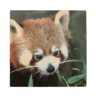 Red Panda, Taronga Zoo, Sydney, Australia Wood Coaster