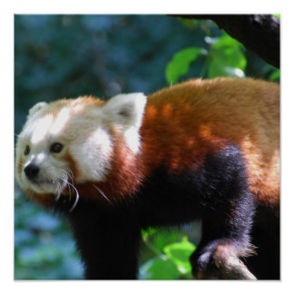 Red Panda With a Cute Face Posters