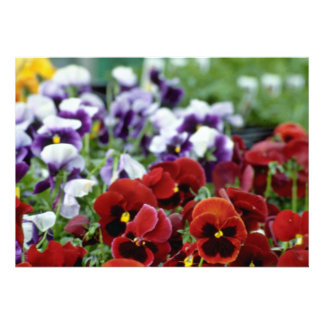 Red Pansies With Black Centers flowers Invites