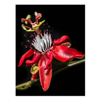 Red passionfruit flower vykort