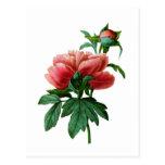 Red Peony By Philip Joseph Redoute Postcard