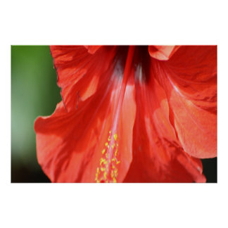 Red Petal and Anther with Pistil Hibiscus Flower Poster