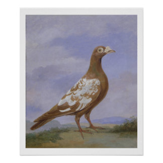 Red Pied Carrier Pigeon (oil on canvas) Poster