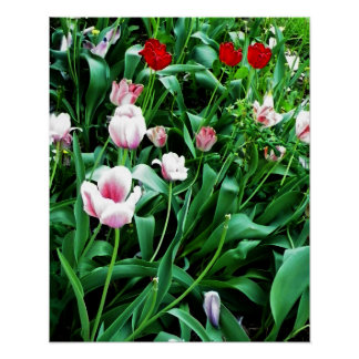 Red & Pink Tulips Picture Poster