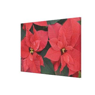 Red Poinsettia Detail (Euphorbia pulcherrima) Stretched Canvas Print