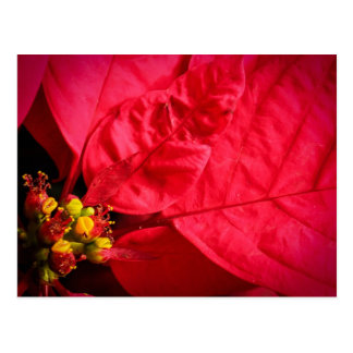 Red Poinsettia Postcard