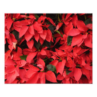 Red Poinsettias Holiday Photograph