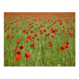 Red poppies blooming in field postcard