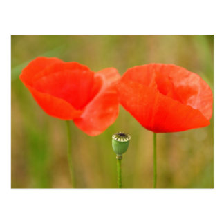 Red Poppies Post Card