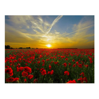 Red poppies sunset postcard