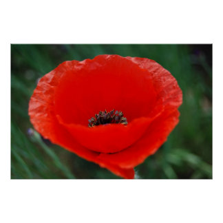 Red poppy and meaning poster
