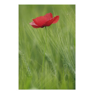 Red poppy flower among wheat crop, Tuscany, Photo Print