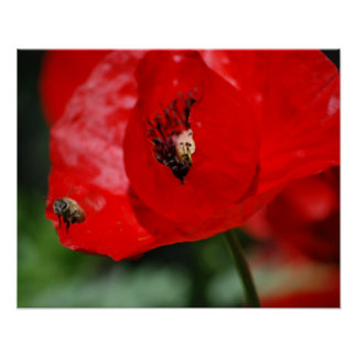 Red Poppy Flower - Bee - Poster