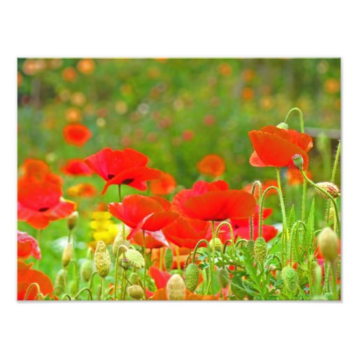 Red Poppy Flowers Fine Art Photography Poppies Photographic Print