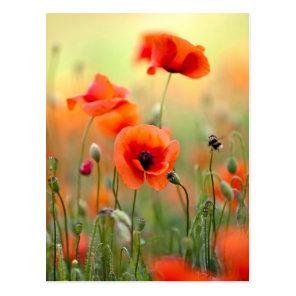 Red Poppy Flowers Postcard