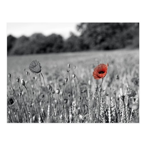 red poppy in a black and white field post card