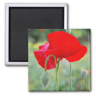 red poppy magnets