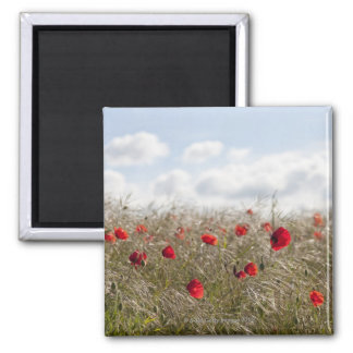 Red poppy, Picardy, Somme, Pont Remy Square Magnet